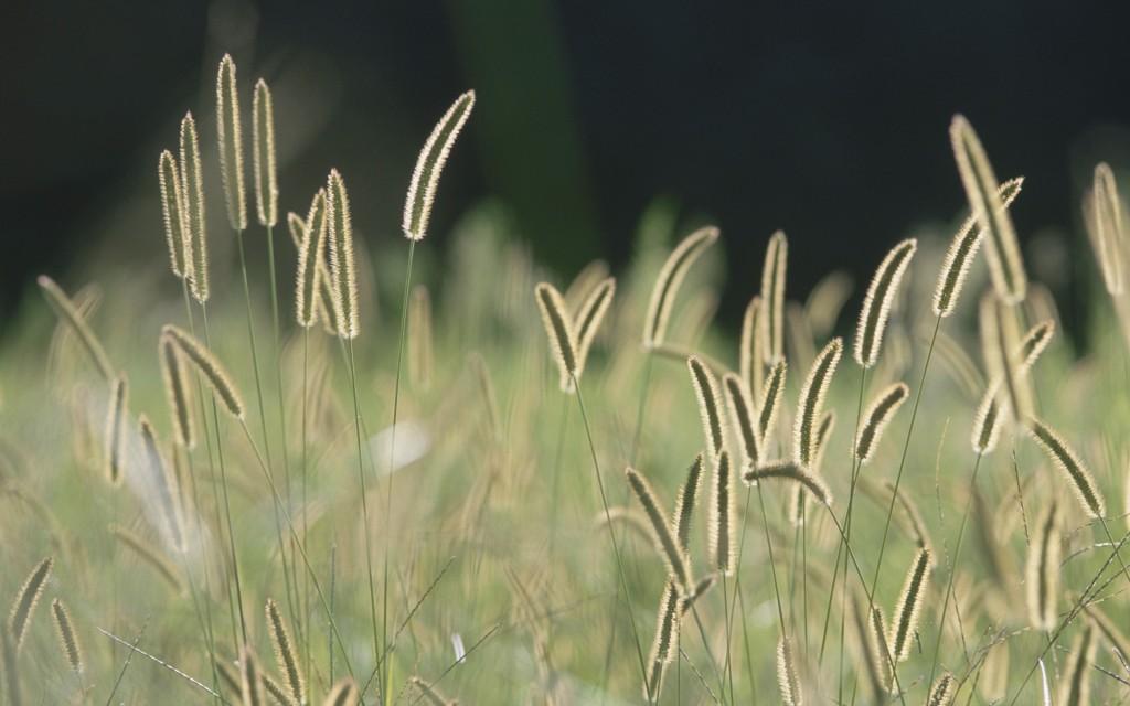 Bristle Grass