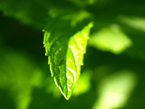 листья мяты, солнце