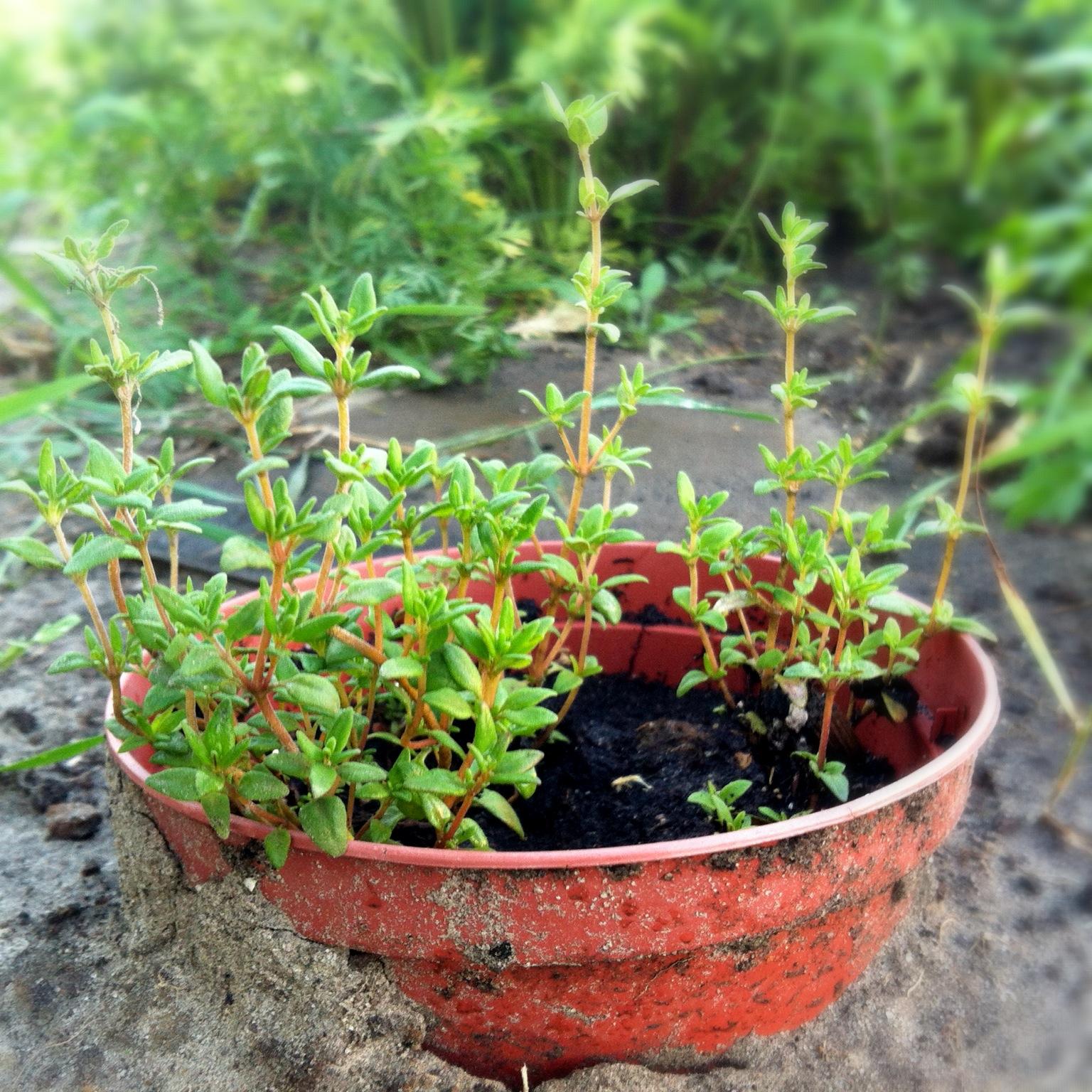Растение 63