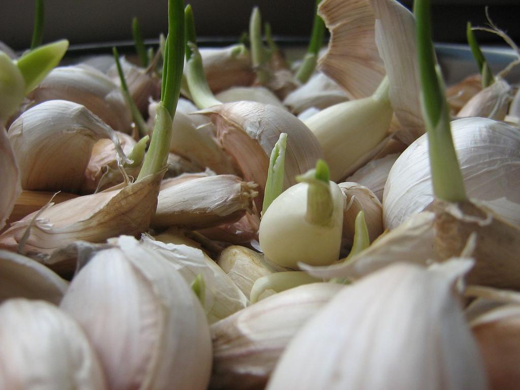 Выращивание чеснока на зелень 79