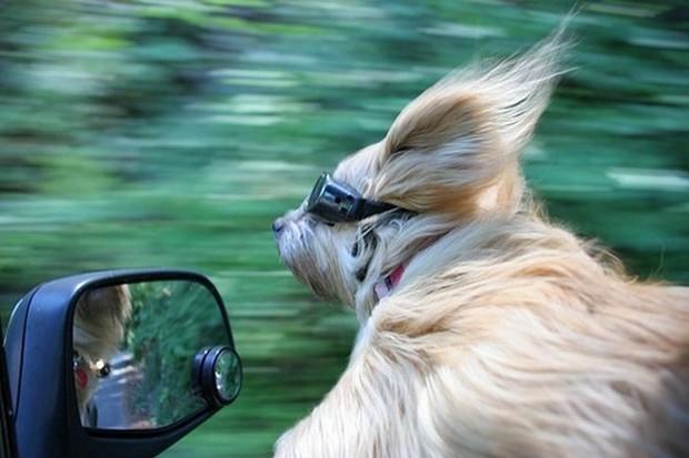 Собака за рулём