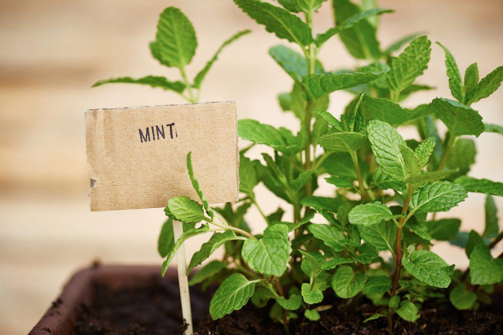 выращивание мяты для продажи Стоимость
