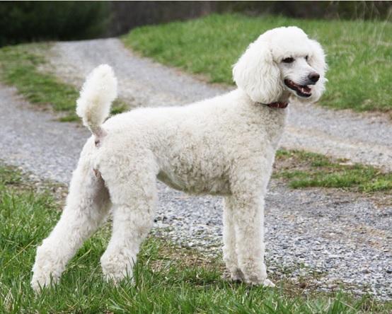 Топ-10 самых умных пород собак: пудель
