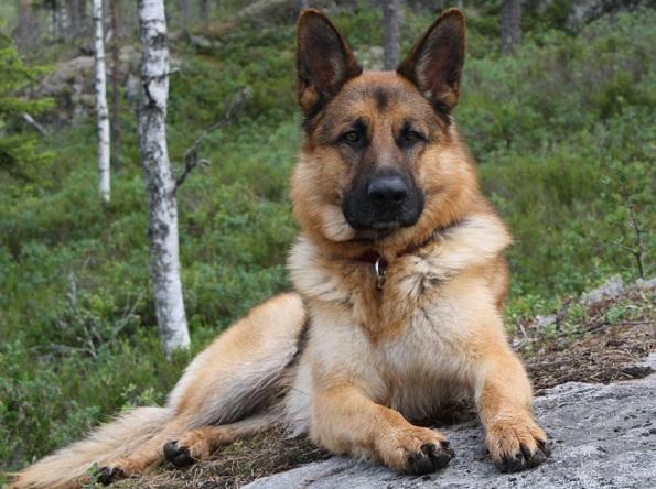 Топ-10 самых умных пород собак: немецкая овчарка