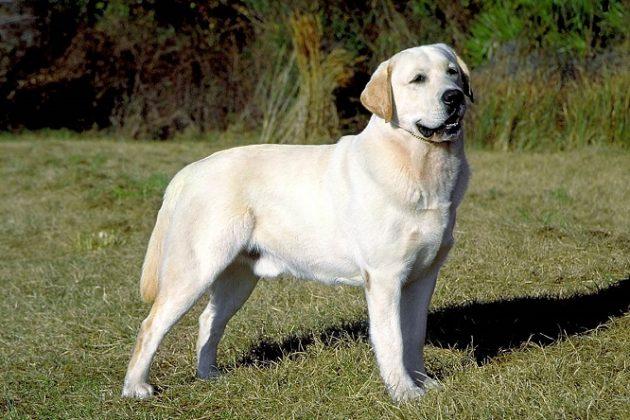 Топ-10 самых умных пород собак: лабрадор-ретривер