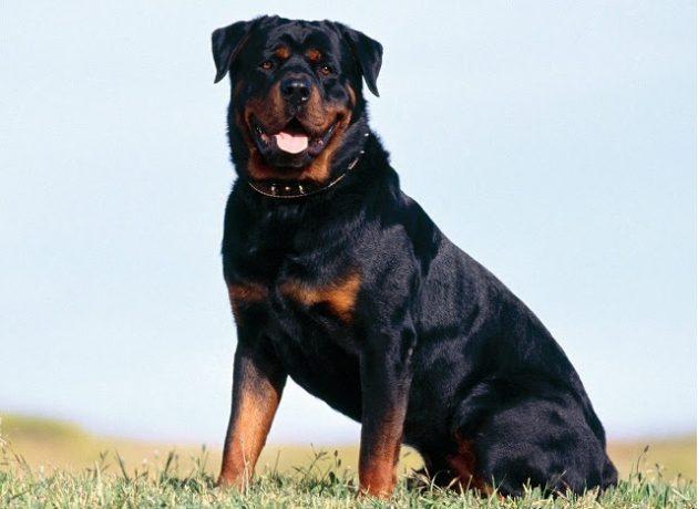 Топ-10 самых умных пород собак: ротвейлер