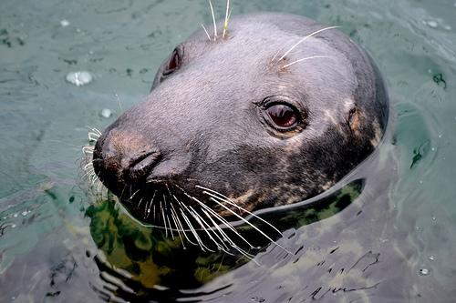 На полуострове можно покормить тюленей