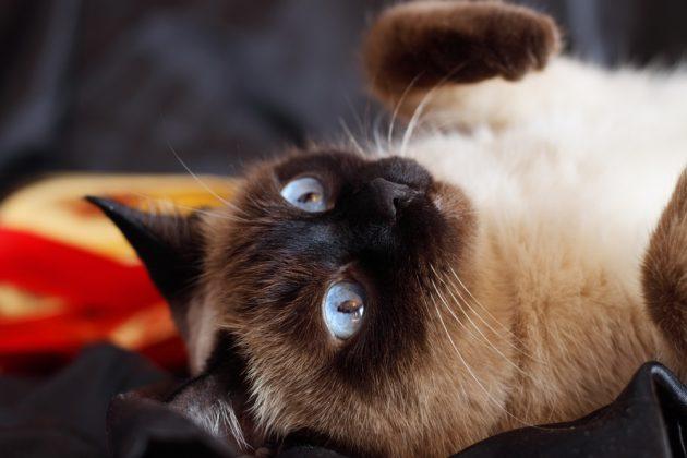 Cиамская кошка