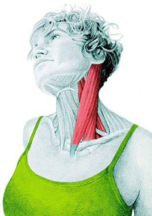 Анатомия стретчинга: растяжка боковых сгибателей шеи