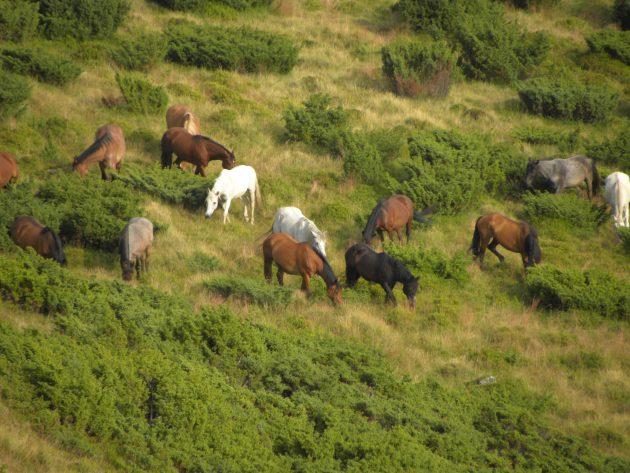 Румыния: дикие лошади в Западно-Румынских горах