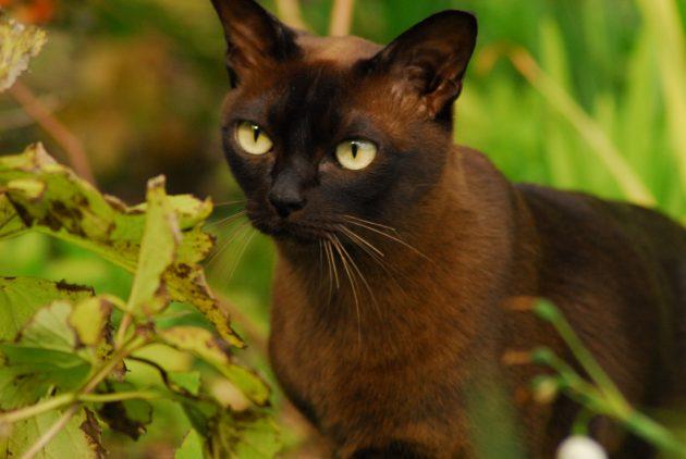 умные породы кошек: бурманская