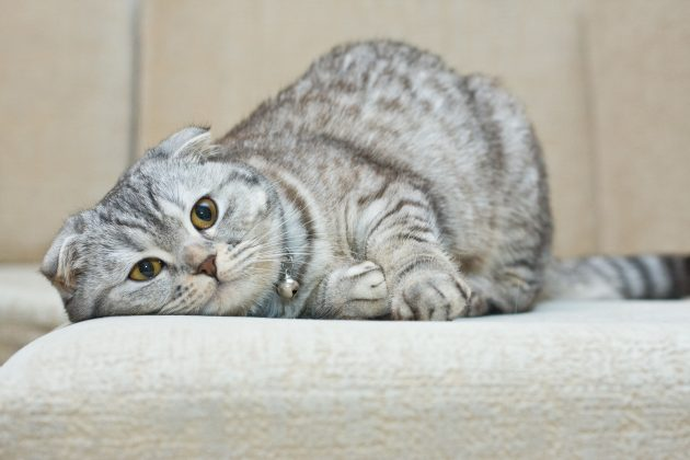 умные породы кошек: шотландская вислоухая
