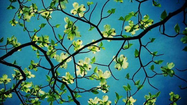 Красивые цветы: яблоня