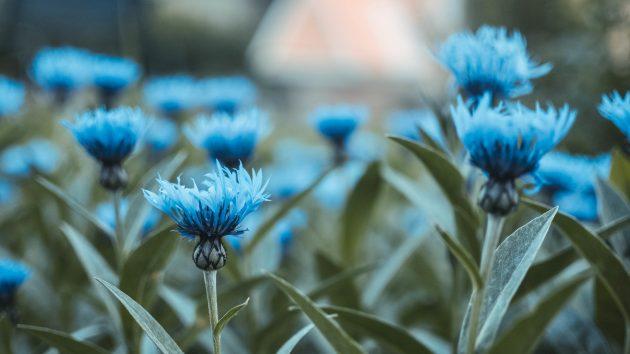 Красивые цветы: васильки