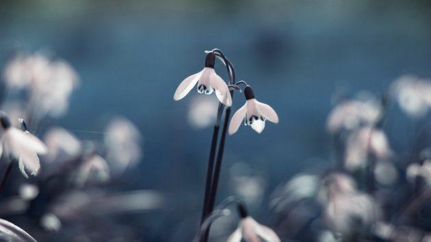 Красивые цветы: подснежники
