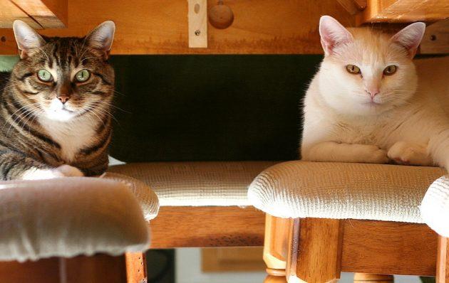 как понять кошку: две кошки